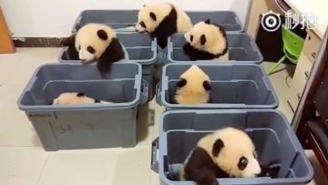 Baby Pandas 🔴 Cute and Funny Baby Panda Videos Compilation (2018) Pandas Bebes Recopilación